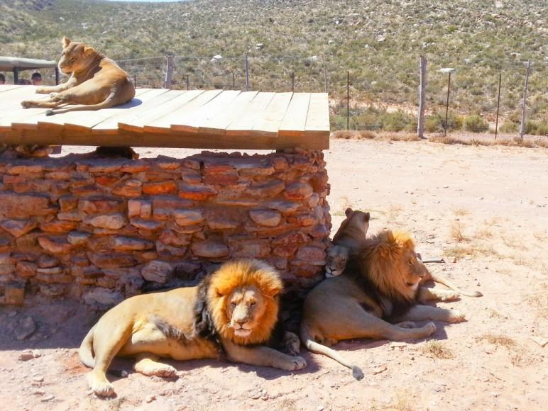 capetown_safari_13_1050