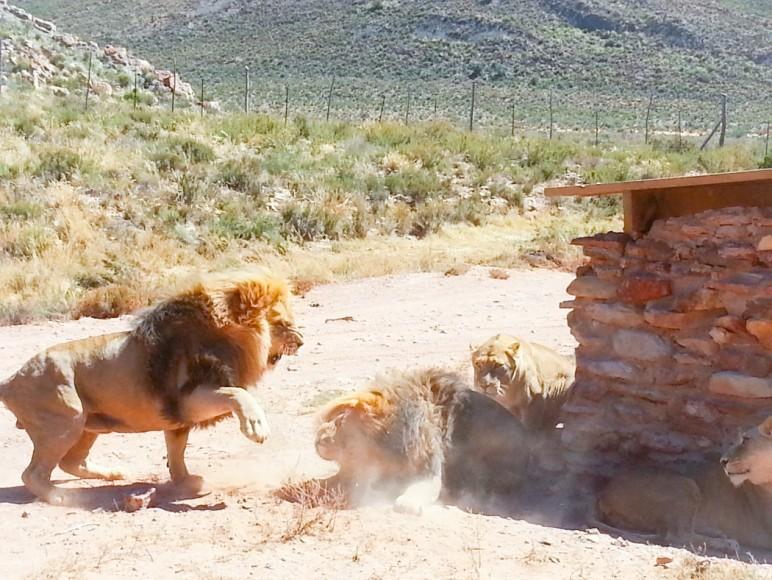 cape town, aquila safari, aslanlar